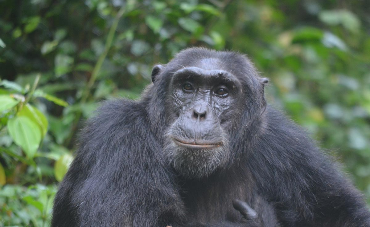 Chimps Gorillas and Savannah Wildlife