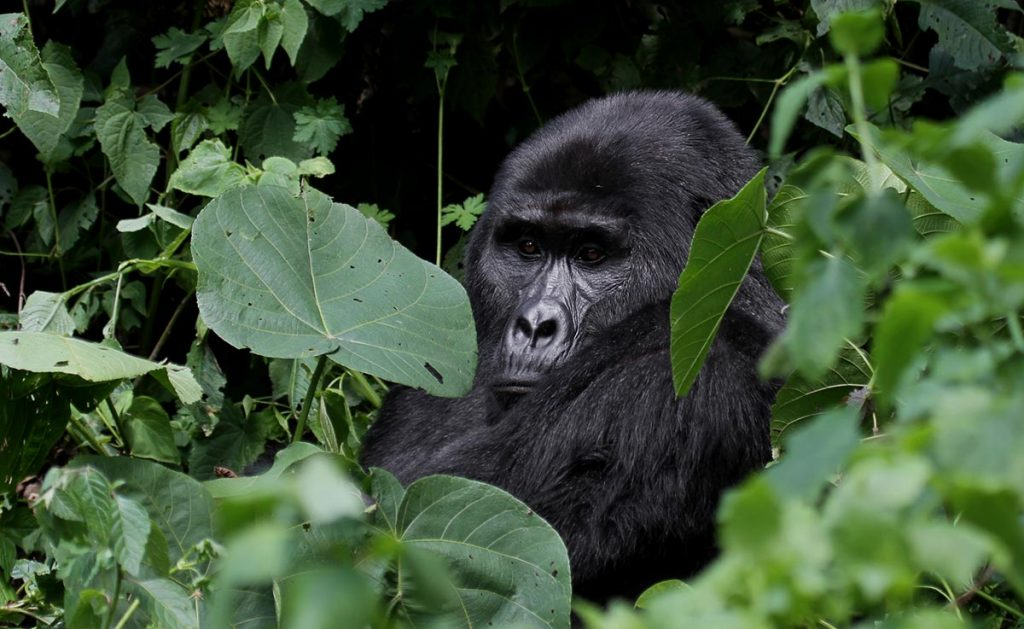 Uganda Gorillas & Wildlife Safari