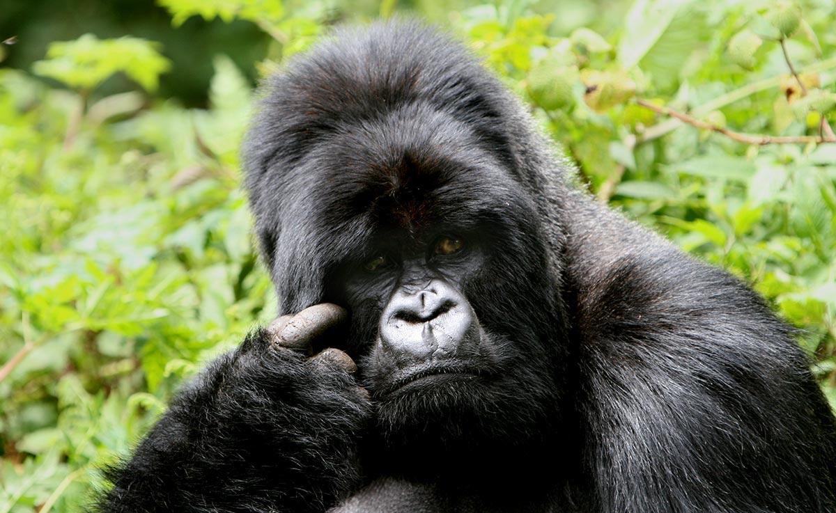Ultimate Uganda and Rwanda Safari