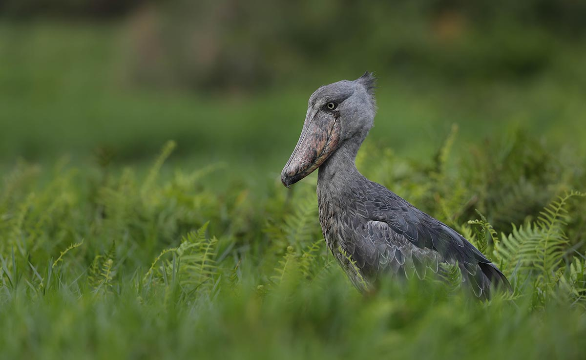 Shoebill Bird Watching Safaris